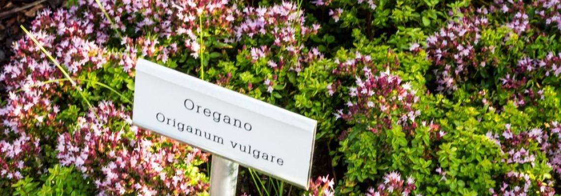Řecké oregano (Origanum heracleoticum)